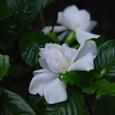 高瀬川 くちなしの花