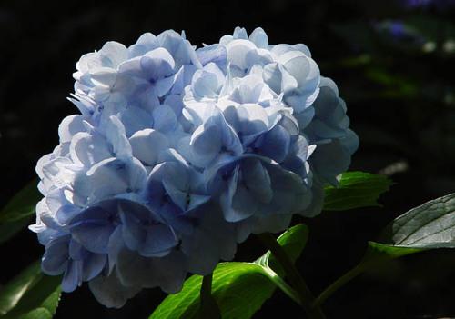 真如堂 紫陽花