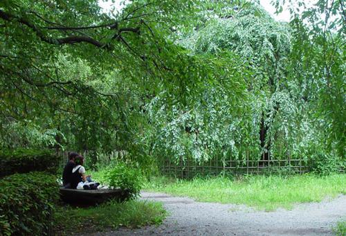 京都御苑 夏の糸桜