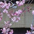 桜 祇園白川