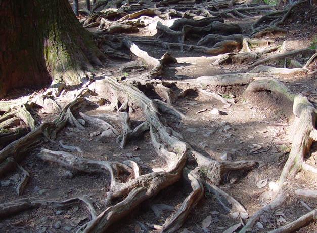 鞍馬山 木の根道