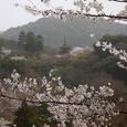 清水寺 桜 子安の塔