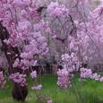 桜 御所 糸桜