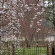 桜 御所糸桜