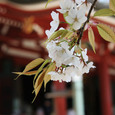 比叡山延暦寺 大講堂の桜