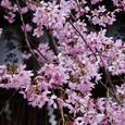 桜 岡崎神社