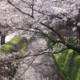 桜 北白川疎水沿い