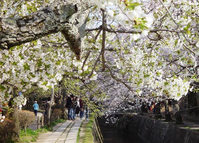桜 哲学の道