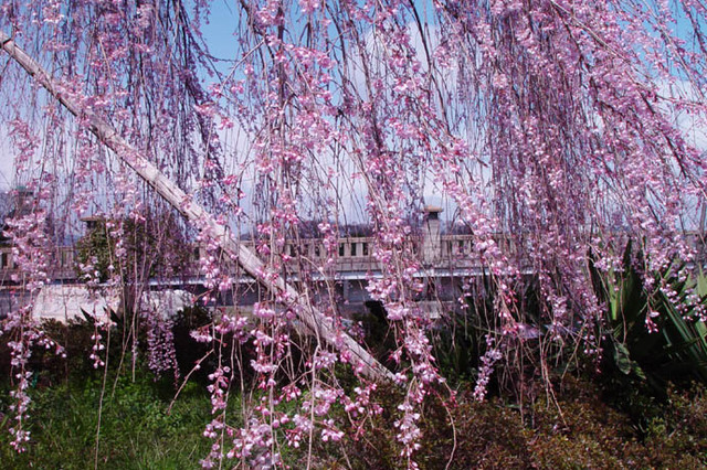 桜 鴨川右岸