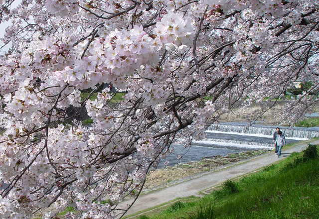 桜 高野川