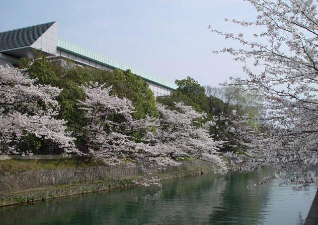 桜 琵琶湖疎水 近代美術館裏