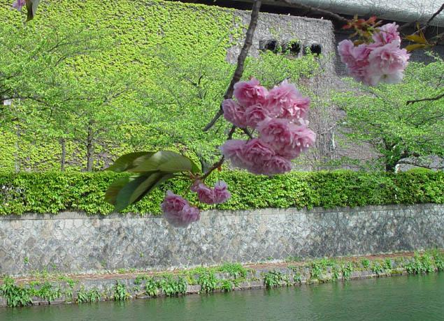 京都会館 春