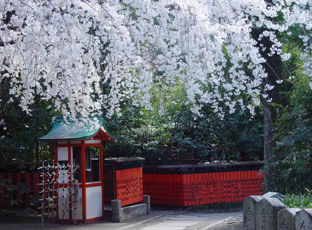 車折神社 渓仙桜
