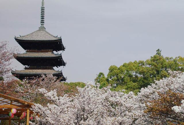 御室 仁和寺 桜